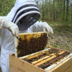 Bee keeper inspecting the hive.